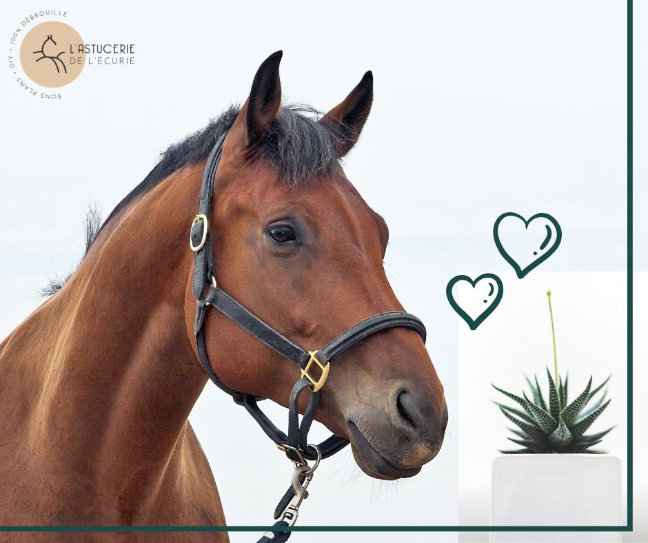 Aloe Vera : Les 8 Bienfaits pour le Cheval