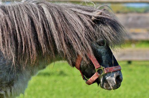 poney shetland avec une belle crinière