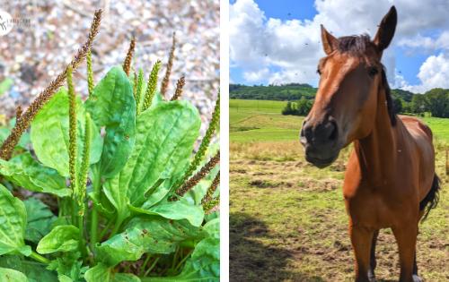 plantain remède cheval