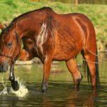 cheval bai dans l'eau